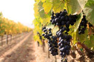 vinograd_ilustracija_il88tr