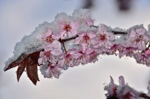 vocarstvo_behar_snijeg
