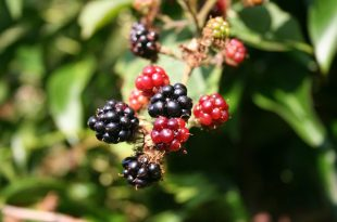 blackberry-200535_960_720