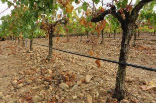 vinograd-spanija-9