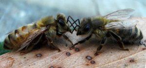pčele-varoa