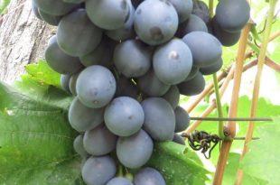 stono-crno-grozdje-3-1-768x576