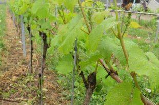 vinogradi-okolina-lugana-11