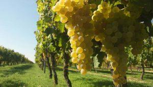 grožđe-rakija-lozovača-komovica