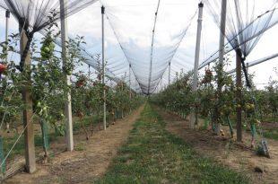 jabuka-sa-protivgradnom-mrezom-zrela-fruska-gora-14