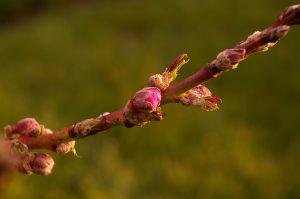 peach-tree-1324063_960_720