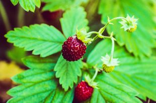 strawberry-4013151_960_720
