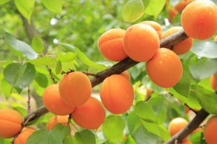 apricots-824626_960_720