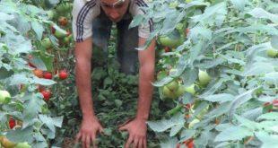 plastenik-stojnik-paradajz-Marko-2-1