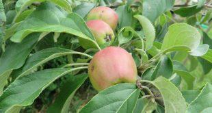 jabuke-na-granama-2