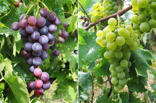 grozdje-av