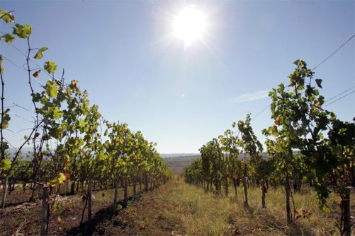 vinograd-av