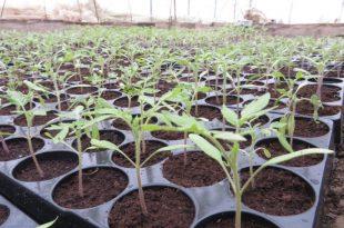 rasad-paradajiz-sovljak-kod-uba-7