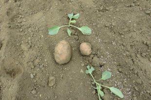 krompir-na-njivi-sa-rasadom-kupusa-2