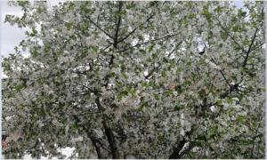 tresnja-u-cvetu-300x180