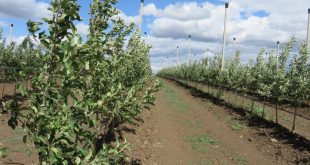 Zasad-jabuka-Delta-Agrar-vocnjak-intezivno-druga-godina-22