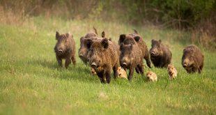 divlje-svinje-foto-shutterstock