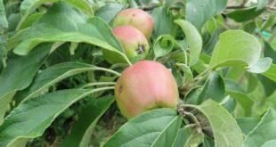 jabuke-na-granama-2-720x540